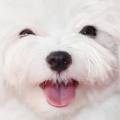 perro maltes con mal aliento