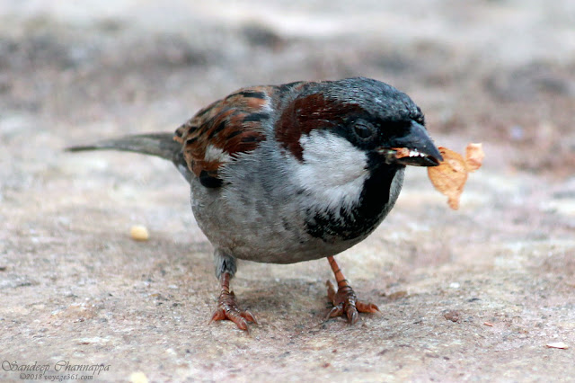A male House Sparrow - They have become a rare sight in Bengaluru city
