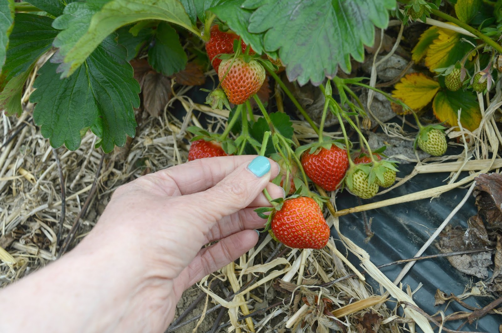 Strawberry Picking Brocksbushes