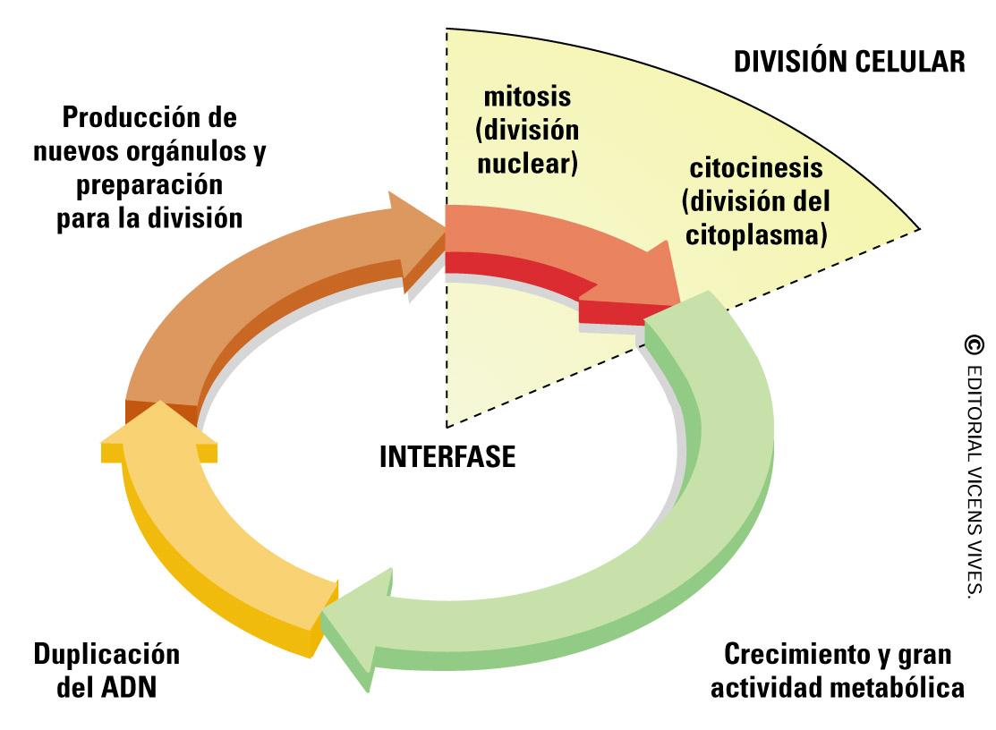 El ciclo celular de las células eucariotas - Biología