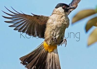 Burung Kutilang termasuk burung monomorphic atau mempunyai kesamaan warna antara jantan da Kutilang Mana Yang Baik Untuk Di Pelihara ? Yang Jantan Atau Yang Betina ?