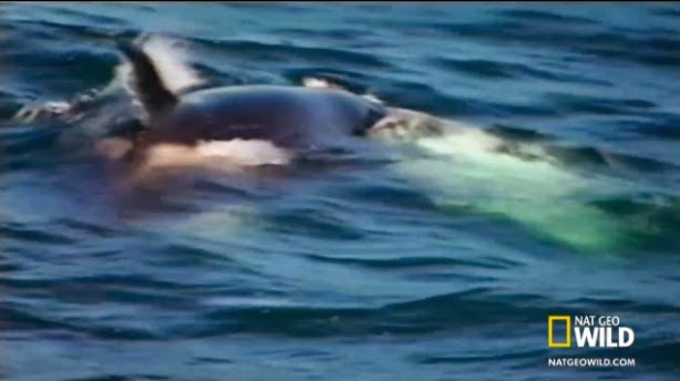 Image Gallery orca attacks great white