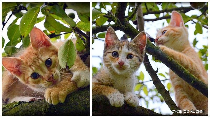 kot, kociątko, kot na drzewie, rudy kot, kotek, jablon, zycie od kuchni