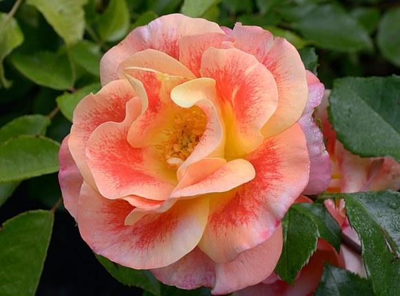 Airbrush сорт розы фото