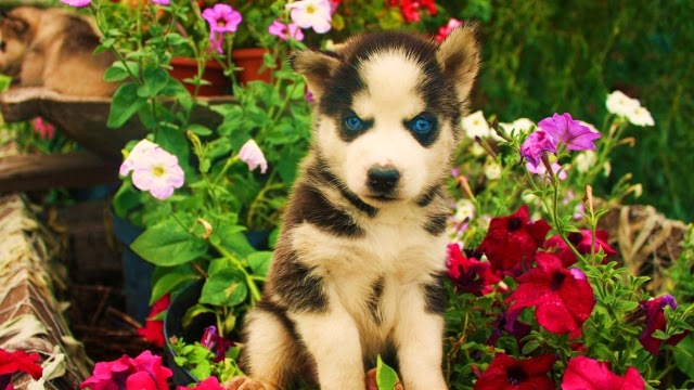 Cute Husky Puppies With Blue Eyes Wallpaper White Wolf Beautiful Photos Of 25 Animals Who Are