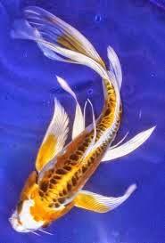 Ikan Koi Dicampur Ikan Komet