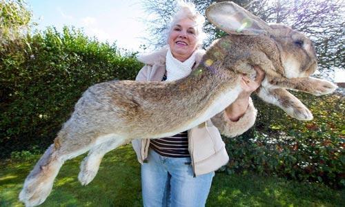kelinci raksasa Hewan Lucu yang Ternyata Kanibal Berbahaya