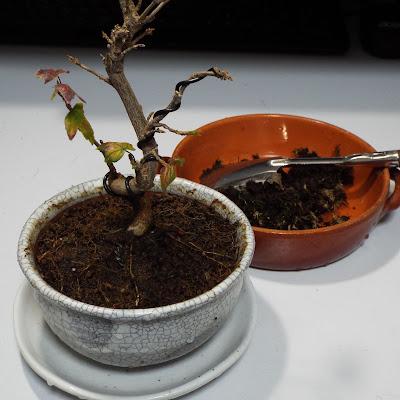 苔をはいだ盆栽