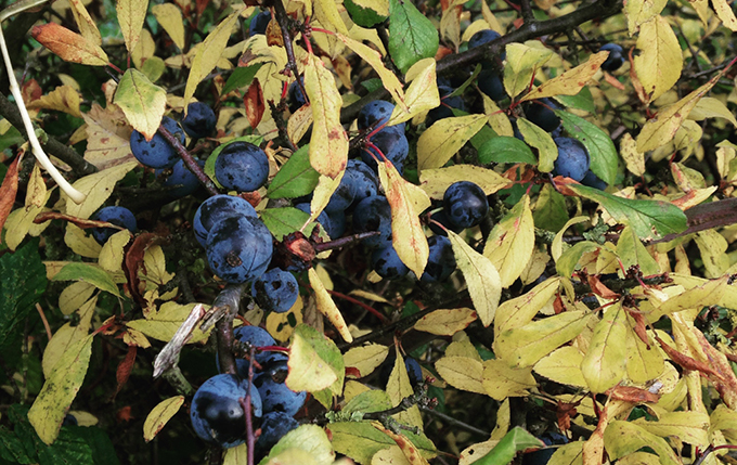 Foraging for sloes