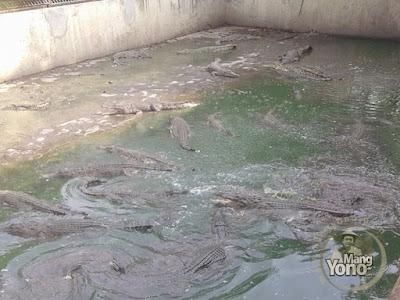 Ini kolam yang berisi buaya - buaya masih buas alias belum jinak