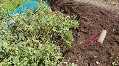 エンピ(剣先スコップ)で落花生株の周囲を掘っていきます