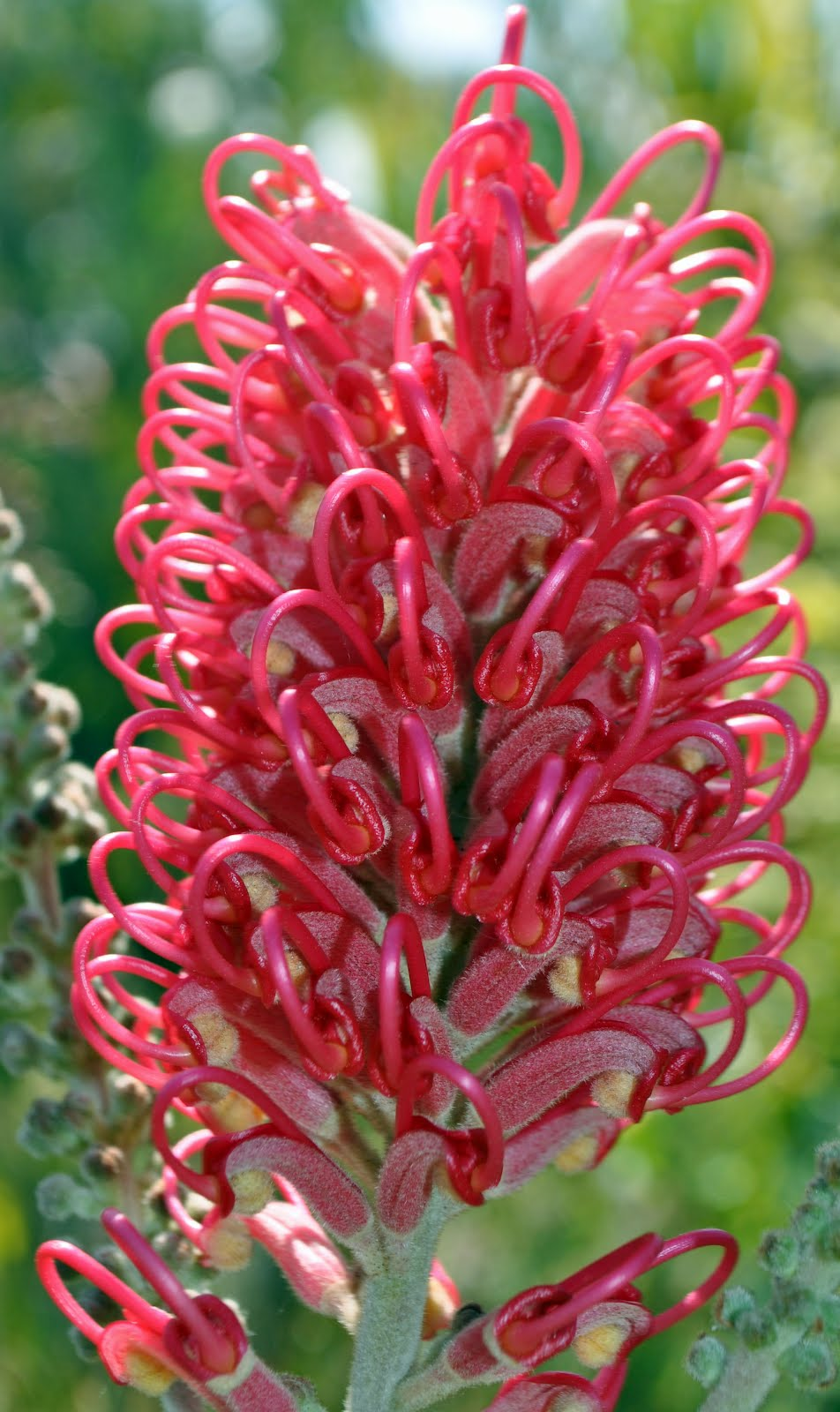 A Passion for Flowers: 5 Reasons to Love Grevillea Flowers