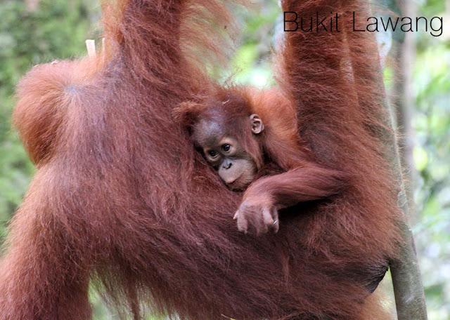 http://cherryvegzombie.blogspot.fr/2014/01/bukit-lawang-et-la-jungle-des-orangs.html