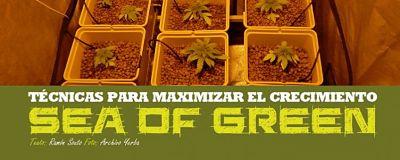 SOG cannabis