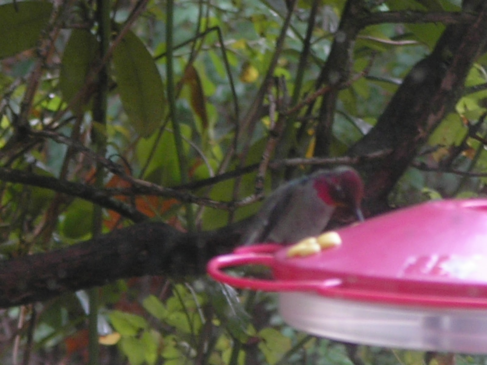 http://3.bp.blogspot.com/-fq1hYlVzG7E/VjxOceltubI/AAAAAAAABpM/V5MorYjjt4g/s1600/Annas_Hummingbird_Male_2015-11-02_PB021774.JPG
