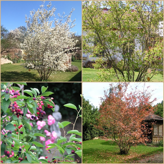 Kupfer-Felsenbirne - Juneberry - amelanchier lamarckii