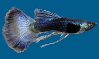 Jenis ikan guppy metalik