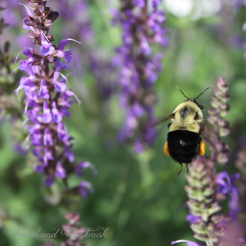 Bumble bee with pollen sacs flying towards purple salvia. Photo by Kathleen Maunder (trowelandpaintbrush.blogspot.ca)