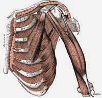 Pengertian dan Penjelasan Otot