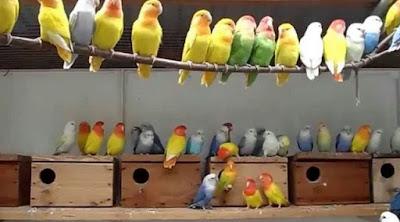Settingan Koloni Lovebird Dewasa Supaya Birahi Tetap Stabil Yang Baik Dan Benar