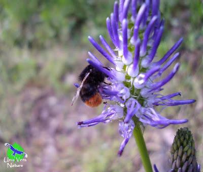 Epi violet raiponce en épi, unis vers nature rhone alpes