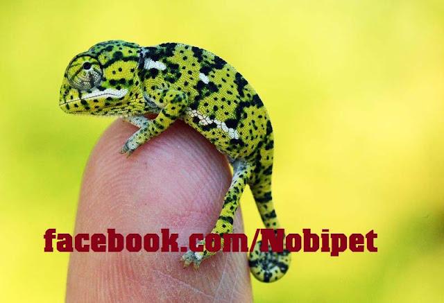 ban-veiled-chameleon-tac-ke-hoa-doi-mau-tai-da-nang-2