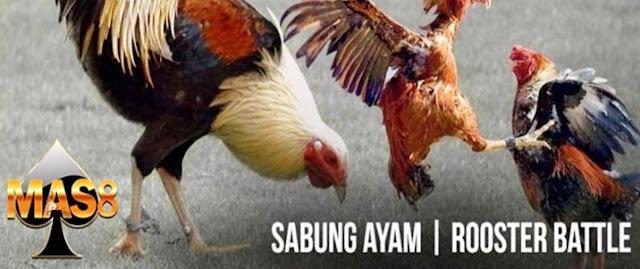 kandang ayam aduan aman dan nyaman mas888co