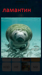 Под водой плывет ламантин