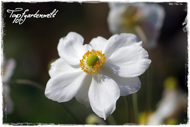 Gartenblog Topfgartenwelt Herbstanemonen: stehen nicht am Speiseplan von roten Nacktschnecken