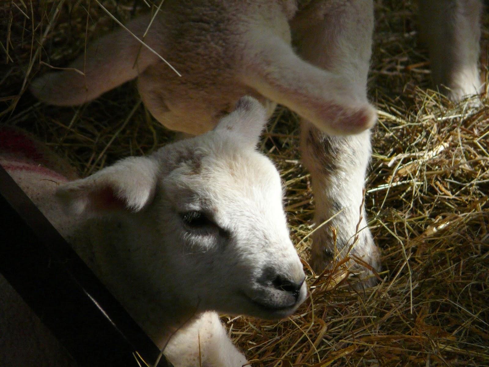 Eye Diseases in Lambs