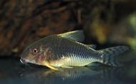 Jenis Ikan Corydoras gossei