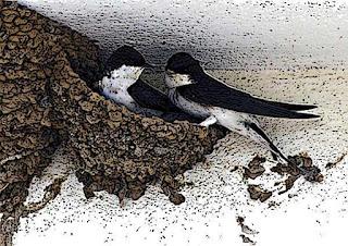 Как ласточки строят гнезда