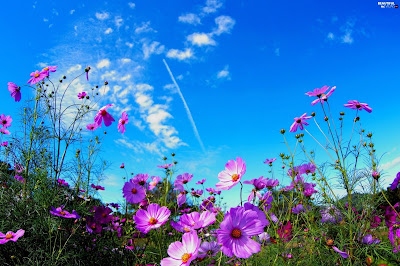 Cosmos Flower Vs Cosmos the Universe