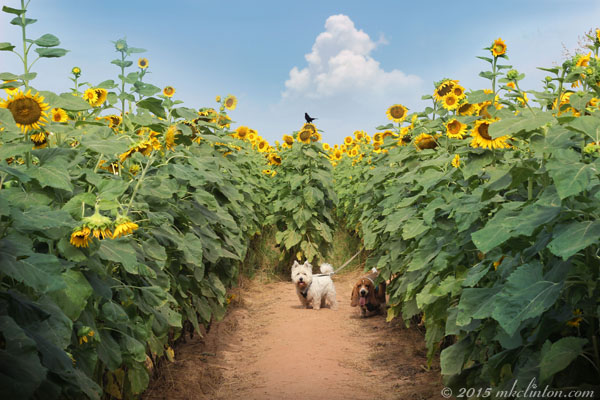 Basset and Westie in sunflower field