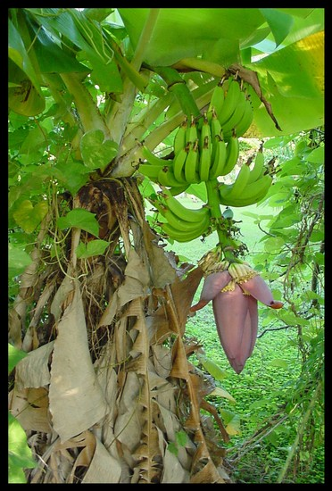 Between Science And Religion The Mysterious Banana Plant