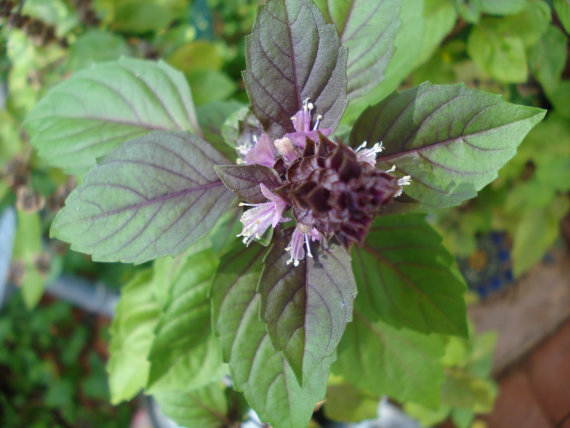 Organic Purple Basil seeds