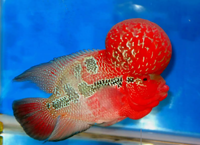 """""""ikan louhan Super Red Dragon"""""""