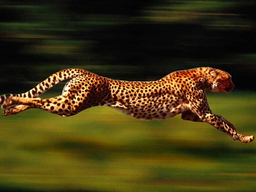Cheetah Running Wallpapers, Running Cheetah - My Style