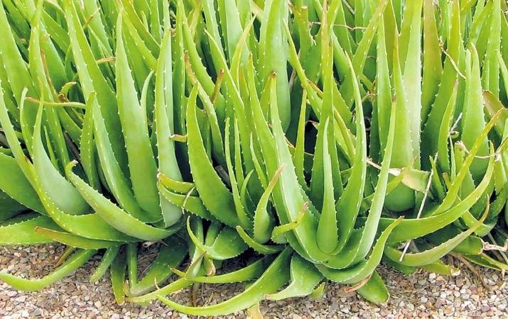 http://rajaramuan.blogspot.com/2014/08/manfaat-dan-khasiat-tanaman-lidah-buaya.html