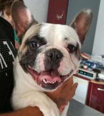 cachorro cruce bulldog