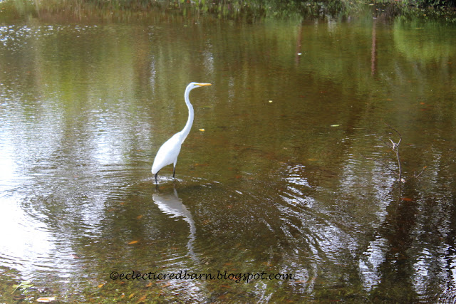 Eclectic Red Barn: Great Egret in the yard