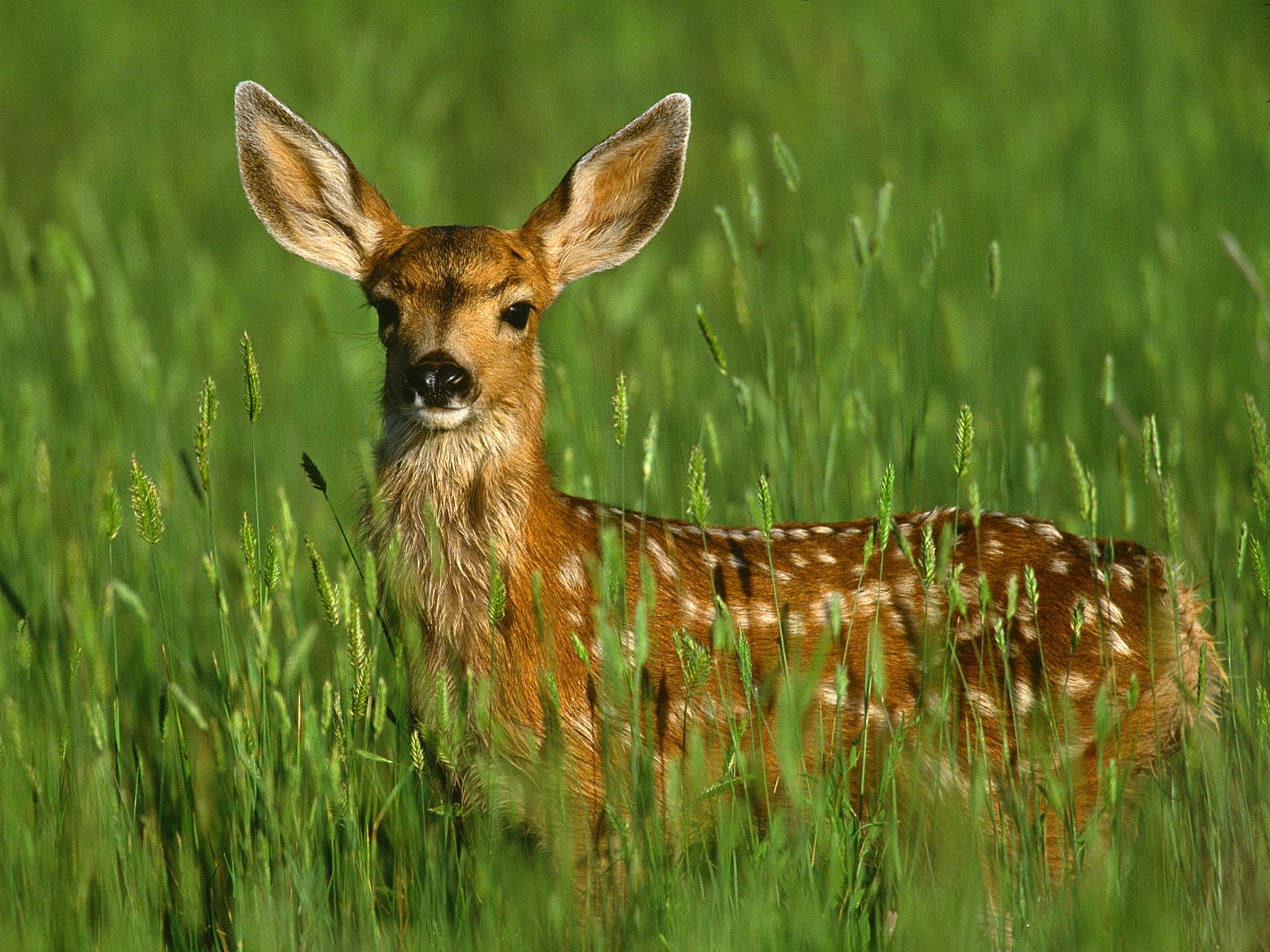 deer wildlife facts info animals wild dear animal nature doe baby cute fawn bing wallpapers fauna cervatillo pretty amazing adorable