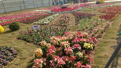 poinsettia plant flower show