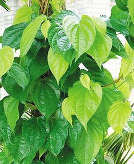 2 bài thuốc chữa bệnh trĩ từ lá cây quen thuộc