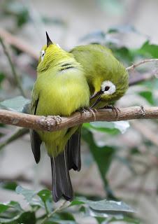 Perawatan Burung Pleci - Cara Membuat Burung Pleci Betina Birahi Agar Cepat Kawin
