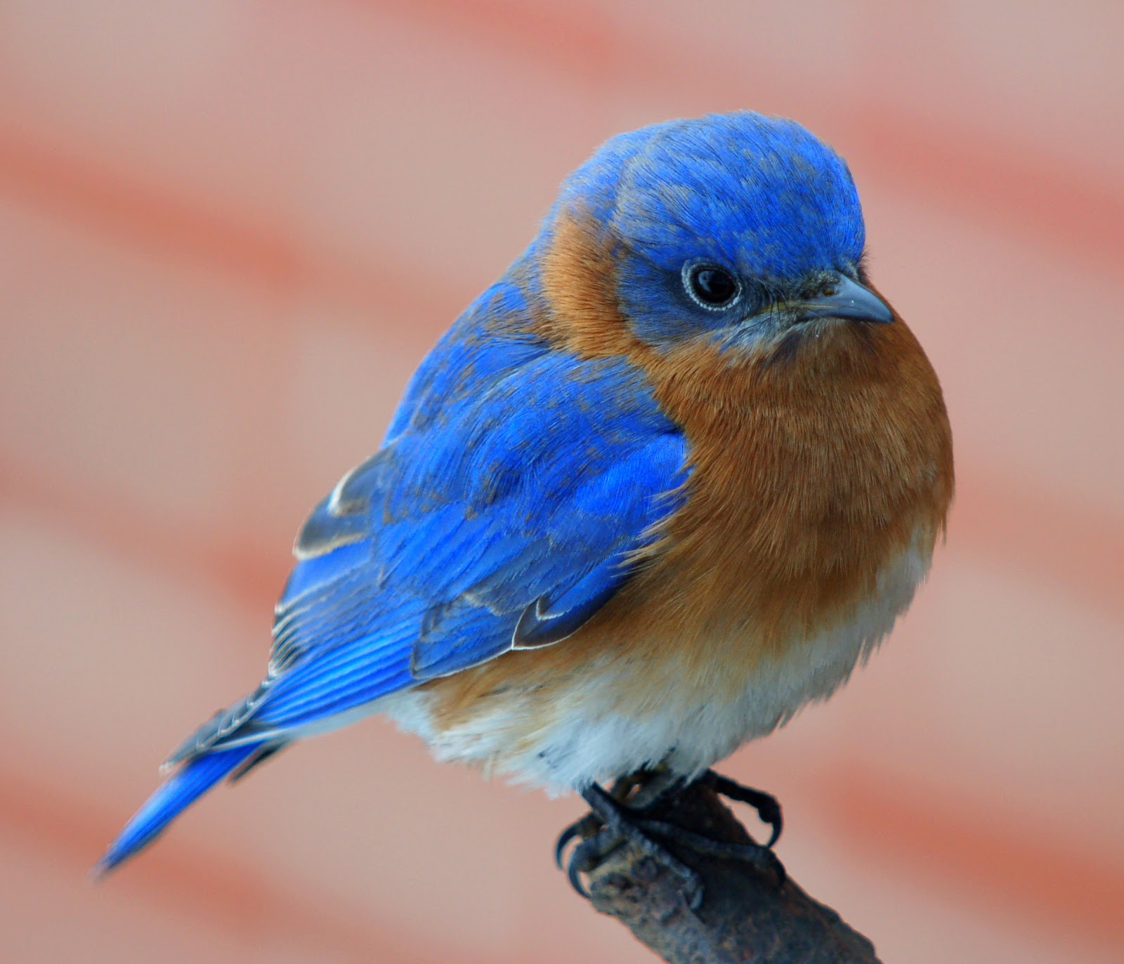 Blue bird - photo#44