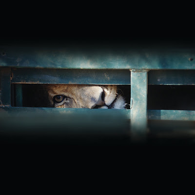 Cena de Leões Africanos: Na Mira dos Caçadores - Divulgação