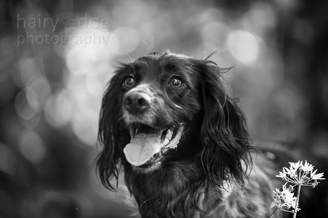 Beautiful black and white spaniel photograph by Hairy Dog Photography