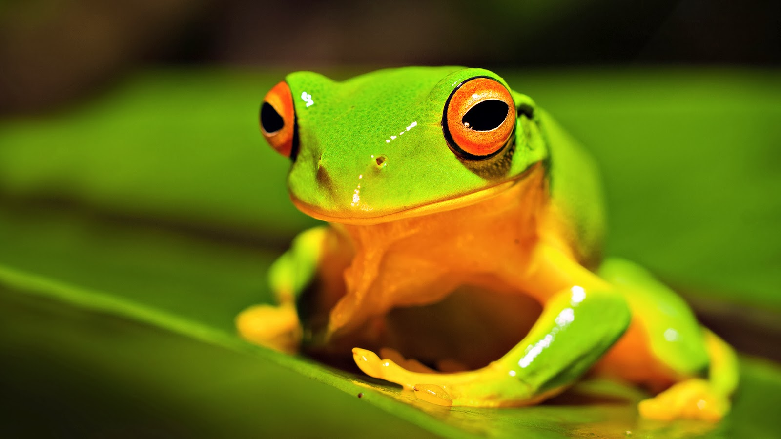 Beautiful Frog Wallpaper Download For Free Goats Animal: Beautiful Desktop Wallpapers 2014