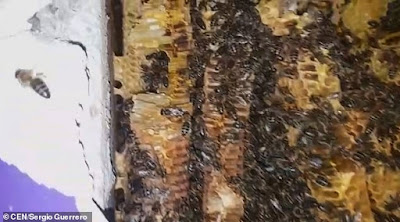 BEES living inside a wall